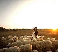 Nô đùa cùng đàn cừu đáng yêu gần xịt Sài Gòn